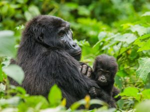 Gorillas in Rwanda's Virunga Mountains